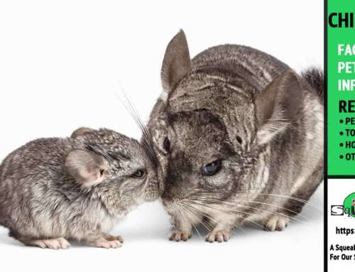 Tips for Breeding Chinchillas – What you need to know before