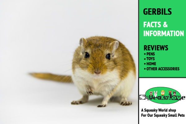 All about Gerbils - facts- squeakylove.com