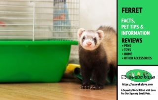 ferret facts and information - ferrets